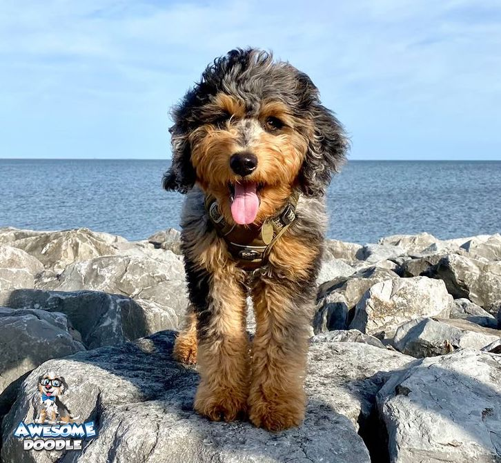 blue merle phantom aussiedoodle puppy with bright copper