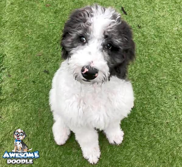 bernedoodle puppy blue merle with white