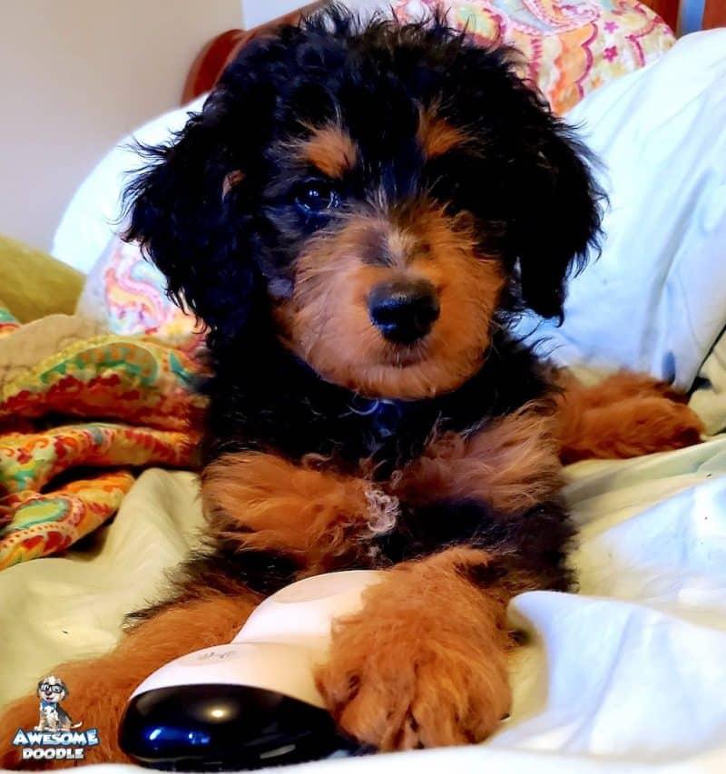 phantom aussiedoodle puppy