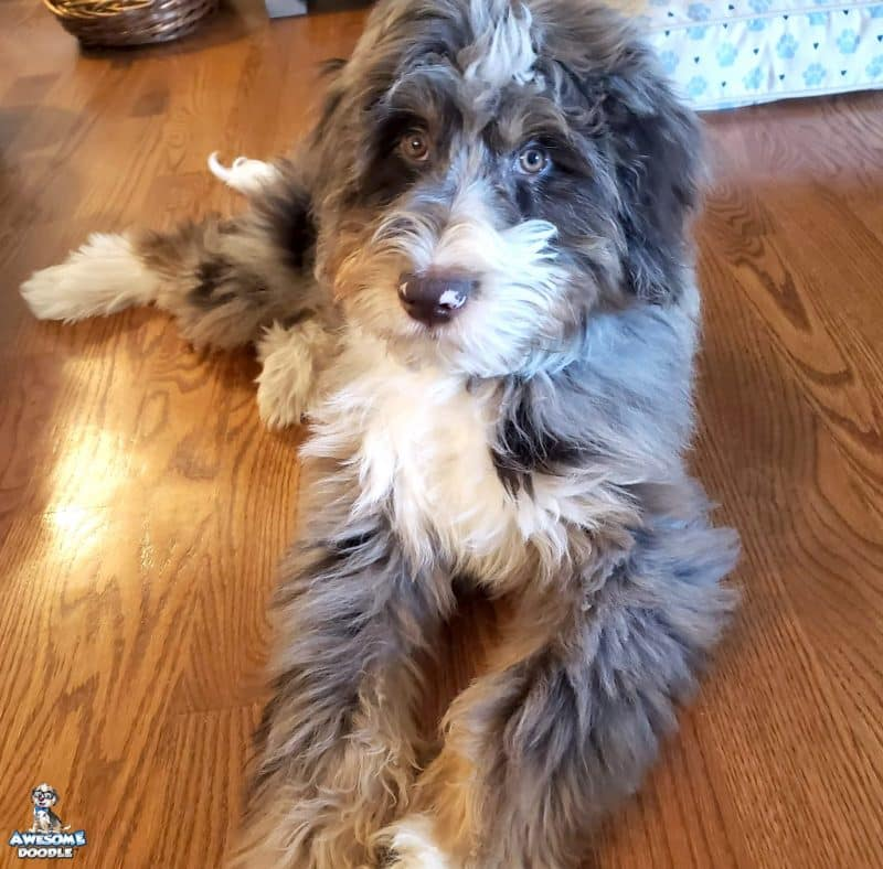 red merle with white and copper aussiedoodle puppy