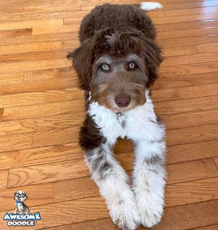 red and white bi colored aussiedoodle