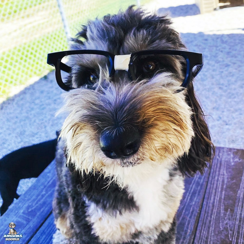 aussiedoodle wearing glasses
