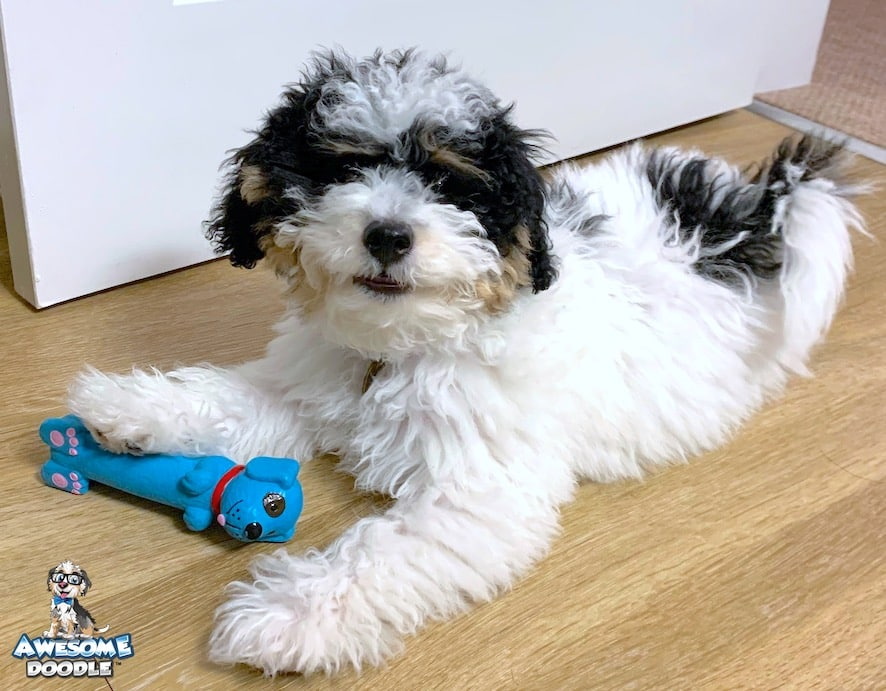 black tri mini bernedoodle puppy