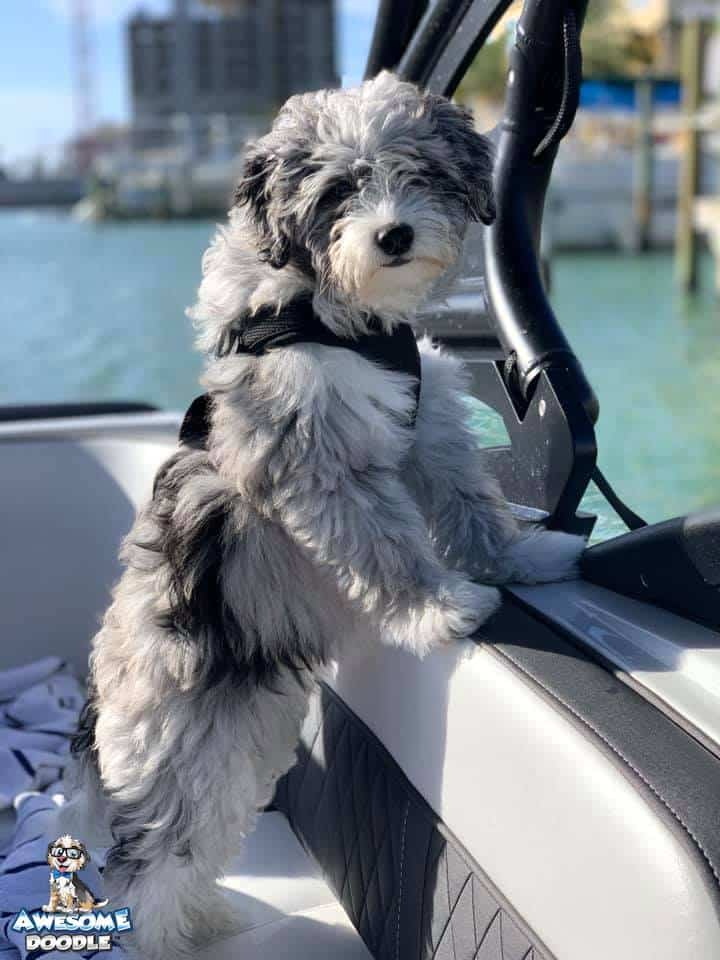 blue merle aussiedoodle puppy with white