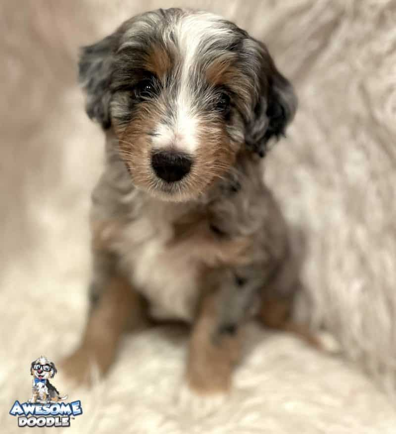 aussiedoodle puppy blue merle with copper