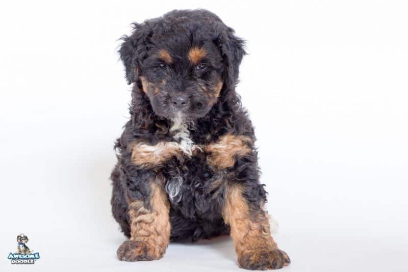 black phantom with white aussiedoodle puppy