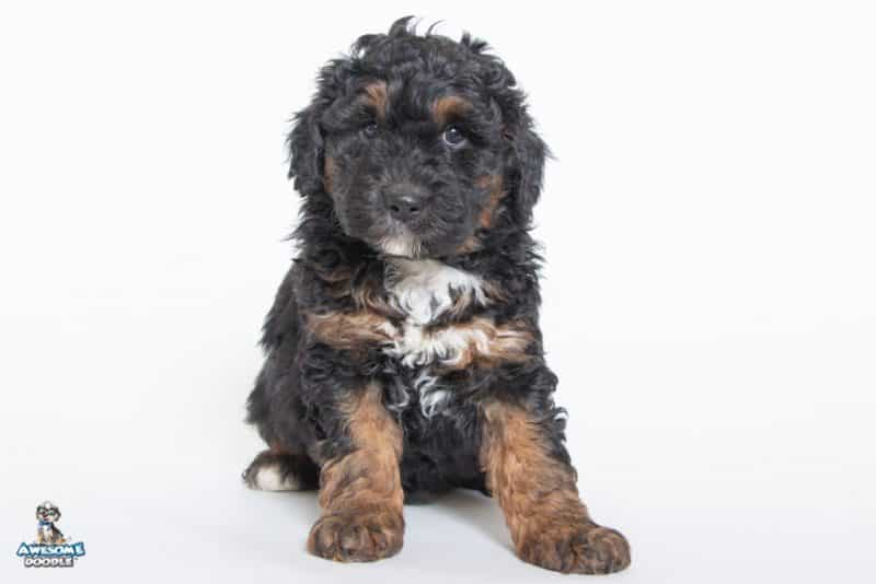 black phantom aussiedoodle puppy with white chest