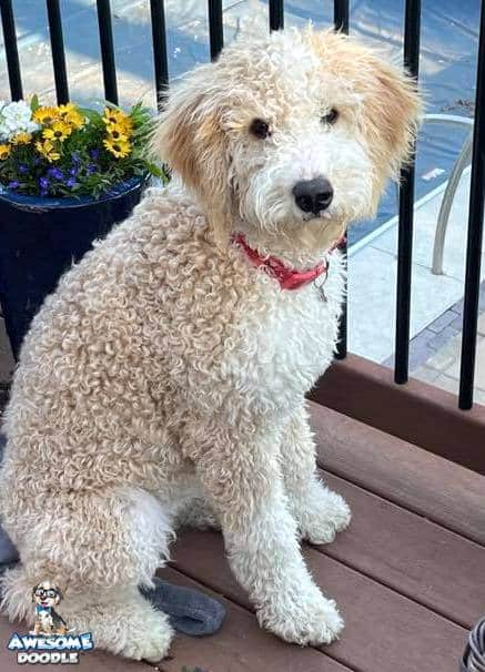 apricot cream curly bernedoodle puppy