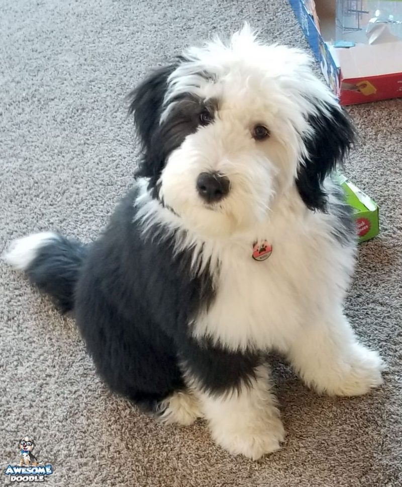 black bi colored australian sheepadoodle puppy