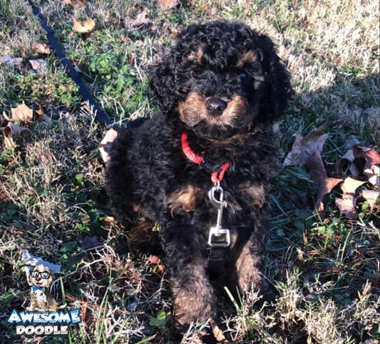black phantom aussiedoodle puppy