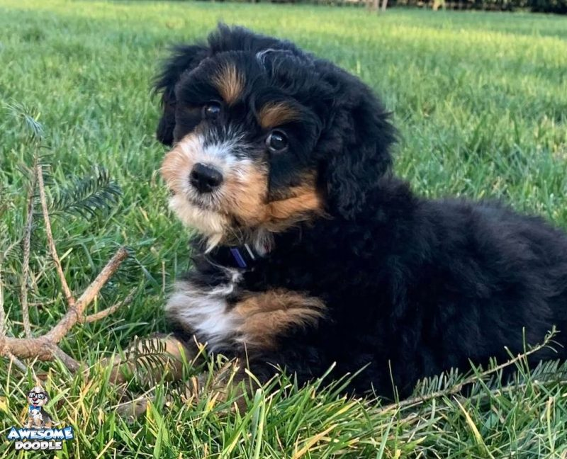 phantom aussiedoodle puppy with white nose and chest
