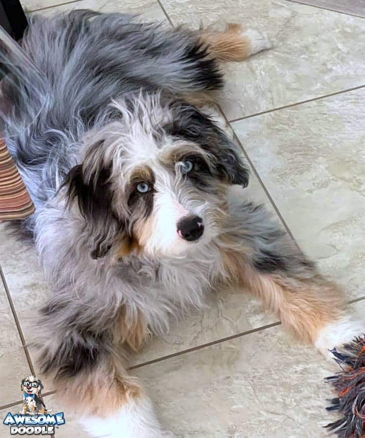 blue merle aussiedoodle with copper and white with two blue eyes