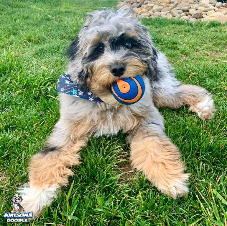 blue merle phantom aussiedoodle puppy with a ball