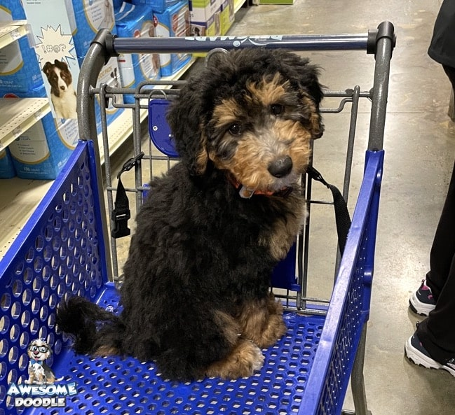 phantom aussiedoodle puppy in shopping cart