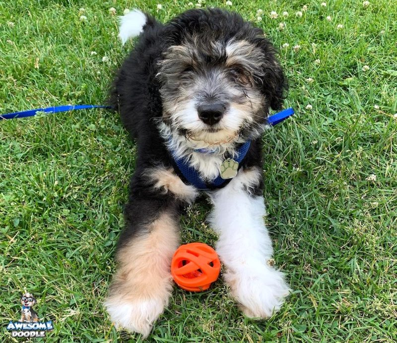 black tri aussiedoodle puppy with a ball